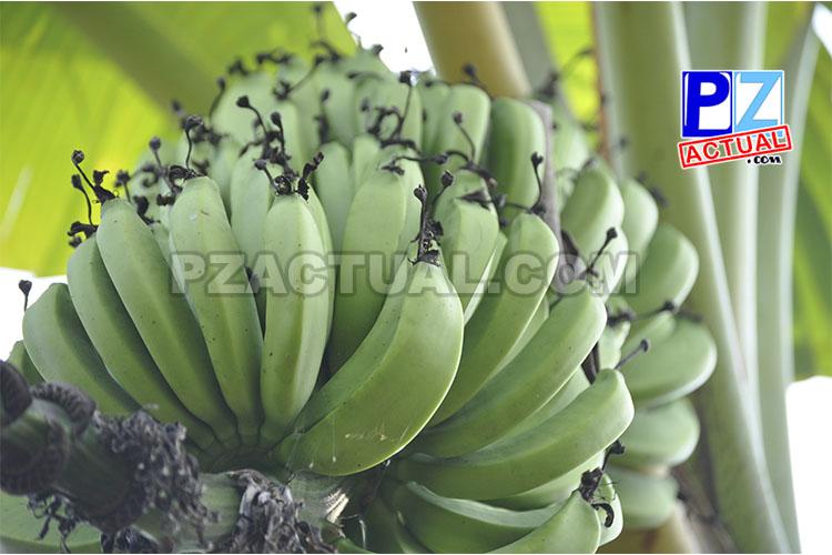 Agricultiura banano www.pzactual.com